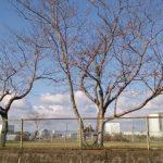 霧島情報③ 桜開花